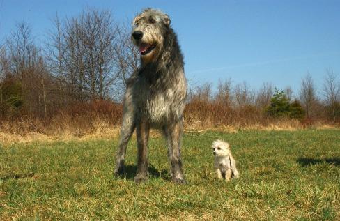 irish-wolfhound-85578_1920