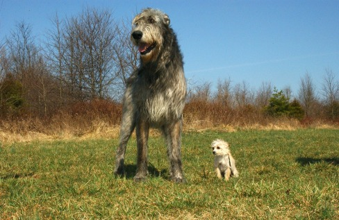 irish-wolfhound-85578_1920