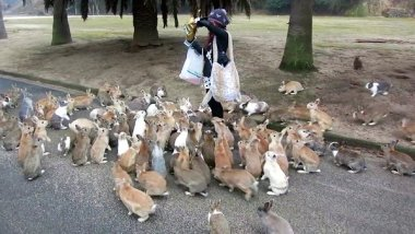Japanese-rabbit-attack